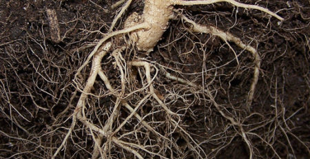 How to use cannabis root